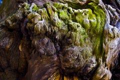 Knotty träd Arkivfoto