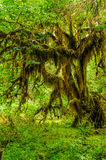 Knotty tree covered with moss Royalty Free Stock Photo