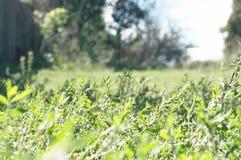 Knotweed草和树 免版税库存图片