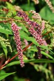 Knotweed. Is used as a spice and also has antibacterial and antipyretic effects as a medicine Stock Photo