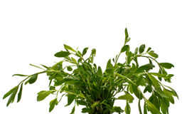 Knotweed or polygonum aviculare. Isolate. Stock Image