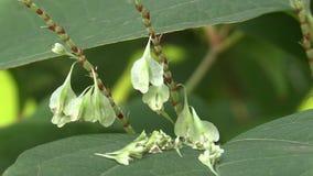 Knotweed Reynoutria en Fallopia-de japonica, invasieve en expansieve species van gevaarlijke installaties, bladeren en vruchten,  stock video