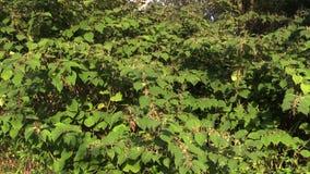 Knotweed Reynoutria en Fallopia-japonica, struiken en invasieve en expansieve species van gevaarlijke grote installaties, herbici stock footage