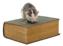 Knowledge. Domestic rat sitting on ancient book Royalty Free Stock Photography