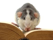 Knowledge digestion. Domestic rat sitting on opened ancient book Stock Images