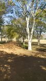 Lane of Platanus Trees stock photo