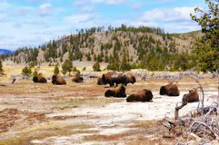 American Bison Buffalo in Yellowstone National Park, Wyoming. Known for their brown coats, curved horns and shaggy beards, bison are a central fixture on the royalty free stock photos