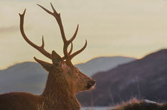 Рогач гористой местности красное, Knoydart, Шотландия Стоковые Изображения
