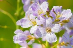 Knäpp blomma (Cardaminepratensisen) Arkivbilder