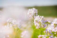 Knäpp blomma (Cardaminepratensisen) Royaltyfri Foto