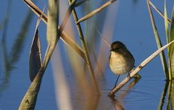 Knubbig fågel arkivbild