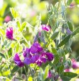 Knubbig tuberous nodul Royaltyfria Bilder