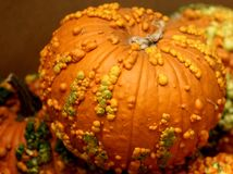 Knucklehead Pumpkin, Cucurbita pepo Royalty Free Stock Images