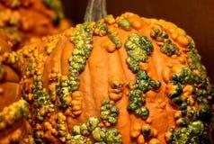 Knucklehead Pumpkin, Cucurbita pepo Royalty Free Stock Photography