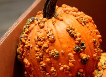 Knucklehead Pumpkin, Cucurbita pepo Stock Images