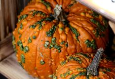 Knucklehead Pumpkin, Cucurbita pepo Stock Photography