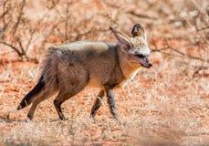 Knuppel-eared vos royalty-vrije stock afbeeldingen