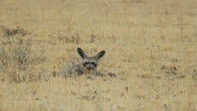 Knuppel-eared vos die tussen gras in Centrale het Spelreserve van Kalahari liggen, Botswana Stock Foto