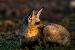 Knuppel-eared vos, Serengeti Stock Foto's