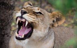Knurrenafrikanische Löwin stockfoto