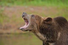 Knurrender Graubär-Bär lizenzfreie stockfotos