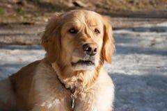 Knurrender Hund Lizenzfreie Stockbilder