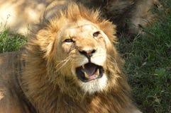 Knurrender Löwe lizenzfreie stockfotografie