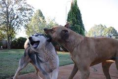 Knurrenhund mit Schlittenhund stockfoto
