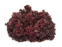 Knusperiges Purpur des Kopfsalates Stockfotografie