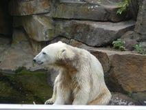 Knut der berühmteste Eisbär stockfotografie
