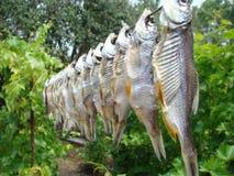 Knyckig fisk Fotografering för Bildbyråer