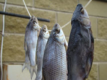 Knyckig fisk Arkivbild