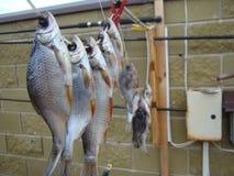 Knyckig fisk Arkivfoton