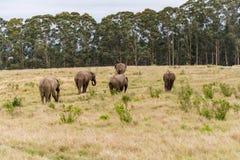 Knysna大象圣所,南非 库存图片