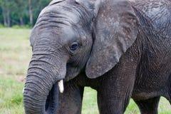 Knysna afrikanischer Elefant Lizenzfreie Stockbilder
