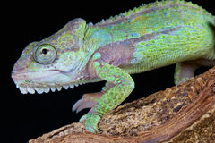 Knysna dwarf chameleon / Bradypodion damaranum Stock Photo