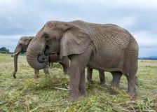 Knysna Elephant Sanctuary, South Africa Stock Photography