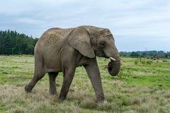 Knysna Elephant Sanctuary, South Africa Stock Photo