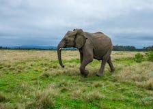 Knysna Elephant Sanctuary, South Africa Royalty Free Stock Photo