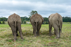 Knysna Elephant Sanctuary, South Africa Royalty Free Stock Images