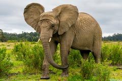 Knysna Elephant Sanctuary, South Africa Royalty Free Stock Photos