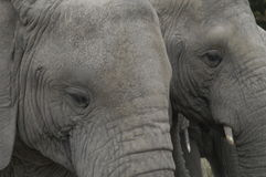 Knysna Elephants Royalty Free Stock Image
