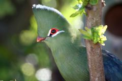 Knysna Loerie or Tureco Bird Royalty Free Stock Image
