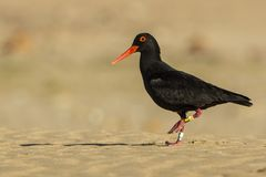Knysna oyster catcher. Protected and ringed Knysna oyster catcher walking on the beach in early morning sun Royalty Free Stock Photos