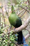 Knysna Turaco. Or Loerie perched in a tree Royalty Free Stock Image