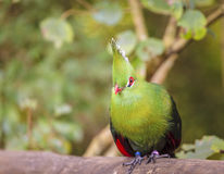 Knysna Turaco. Close-up image of Knysna Turaco at a bird sanctuary near Plettenberg Bay, South Africa Stock Images