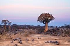Kołczanów drzewa lasowi na niebieskiego nieba tle, afrykanina krajobraz w Keetmanshoop, Namibia zdjęcie royalty free