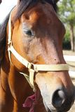 Koński portret obrazy stock