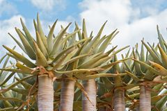 Kołczanu drzewa lub Kokerboom aloesu dichotoma przeciw chmurnemu niebu, Namibia obraz stock