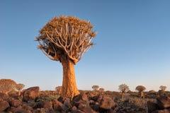 Kołczanu Drzewny las w Południowym Namibia brać w Styczniu 2018 obrazy stock